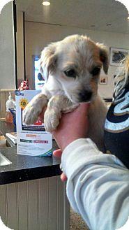 Cocker Spaniel Mix Puppy for adoption in Williamston, North Carolina - Tanner