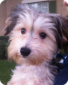 Maltese/Yorkie, Yorkshire Terrier Mix Puppy for adoption in Orlando, Florida - Toby