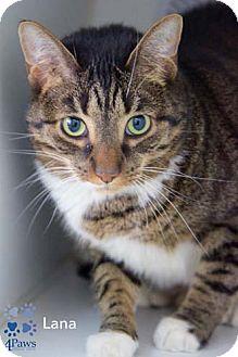 Domestic Shorthair Cat for adoption in Merrifield, Virginia - Lana