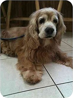 Cocker Spaniel Dog for adoption in Flushing, New York - Tony