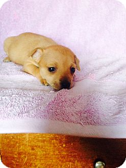 Dachshund/Jack Russell Terrier Mix Puppy for adoption in Santa Ana, California - Summer