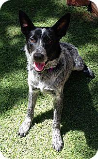 Australian Cattle Dog Puppy for adoption in Carlsbad, California - Blue