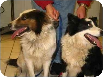 Border Collie Dog for adoption in Fayetteville, Arkansas - Patches