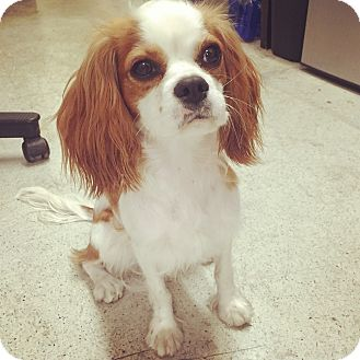 Cavalier King Charles Spaniel Puppy for adoption in west hollywood, California - Shirley