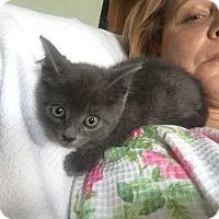 Adopt A Pet :: Cosette ( purr machine) - Sterling Hgts, MI