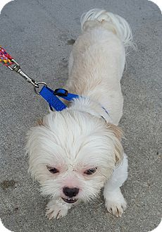 Shih Tzu Dog for adoption in Jacksonville, North Carolina - Mac