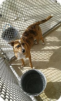Blue Heeler Mix Dog for adoption in Cleveland, Texas - Plata