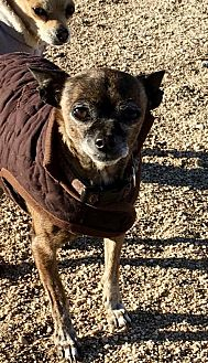 Chihuahua Dog for adoption in Lancaster, California - Carrie