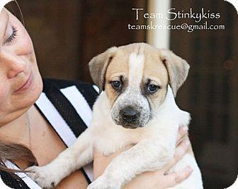 Dachshund/Basset Hound Mix Puppy for adoption in Aiken, South Carolina - Londyn