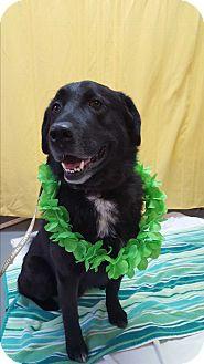 Labrador Retriever Mix Dog for adoption in Hawk Point, Missouri - Bruno