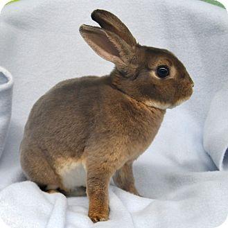 Mini Rex Mix for adoption in Wheaton, Illinois - Mr Lilac