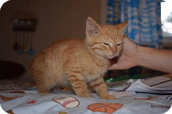 Domestic Shorthair Kitten for adoption in Oxford, Connecticut - Phil