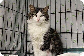 Domestic Shorthair Cat for adoption in Warwick, Rhode Island - Cheyenne