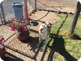 Pit Bull Terrier Mix Dog for adoption in Gardnerville, Nevada - Chance