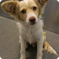 Papillon/Terrier (Unknown Type, Small) Mix Dog for adoption in Boulder, Colorado - Friday-ADOPTION PENDING