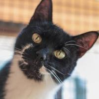 Adopt A Pet :: Meadow - Chestertown, MD