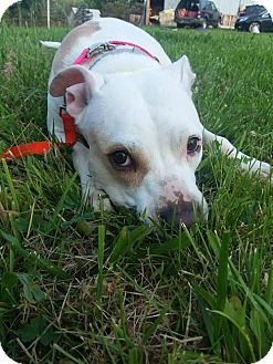 American Staffordshire Terrier/American Pit Bull Terrier Mix Dog for adoption in Centerburg, Ohio - Mimi