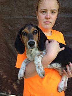 Beagle Mix Puppy for adoption in Groveland, Florida - Pheona