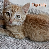 Adopt A Pet :: Tiger Lily - Polson, MT