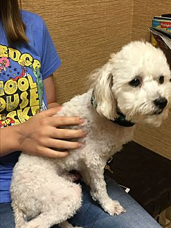 Bichon Frise Dog for adoption in Tulsa, Oklahoma - Adopted!! Parker - TX
