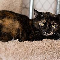 Domestic Shorthair Cat for adoption in Fallbrook, California - Ginger