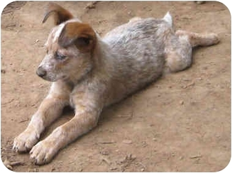 Australian Cattle Dog Mix Puppy for adoption in Tahlequah, Oklahoma - Fluffy