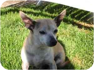 Chihuahua Mix Dog for adoption in Rochester Hills, Michigan - Chi Chi