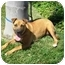 Photo 4 - Rhodesian Ridgeback/Boxer Mix Dog for adoption in El Cajon, California - Lucy