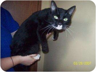 Domestic Mediumhair Cat for adoption in Hopkinsville, Kentucky - Boots
