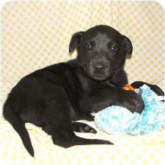 Labrador Retriever Mix Puppy for adoption in Bel Air, Maryland - Donner