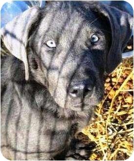 Weimaraner Puppy for adoption in Oswego, Illinois - Blu