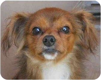 Chihuahua Mix Dog for adoption in San Clemente, California - WINSTON