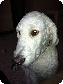 Goldendoodle/Poodle (Standard) Mix Dog for adoption in New Jersey, New Jersey - NW Philly, PA - Leo