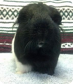 Guinea Pig for adoption in Lewisville, Texas - DC
