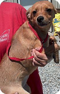 Dachshund Mix Dog for adoption in Delaware, Ohio - Demi