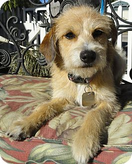 Cairn Terrier/Border Terrier Mix Dog for adoption in Santa Ana, California - Ruthie
