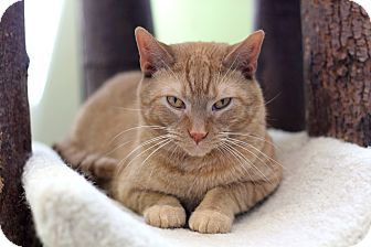 Domestic Shorthair Cat for adoption in Chicago, Illinois - Carrock