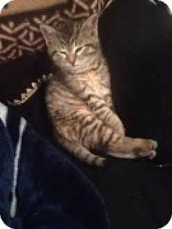 Domestic Shorthair Kitten for adoption in McHenry, Illinois - Pudgy