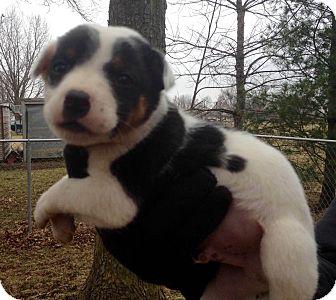 Boston Terrier/Australian Shepherd Mix Puppy for adoption in Lisbon, Iowa - Diesel