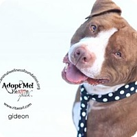 Adopt A Pet :: GIDEON (Courtesy Post) - LOS ANGELES, CA