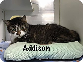 Domestic Shorthair Cat for adoption in Jackson, New Jersey - Addison