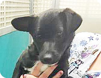 Terrier (Unknown Type, Small) Mix Puppy for adoption in Spokane, Washington - Brier