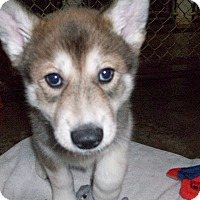 Adopt A Pet :: Puppy Jellybean - Augusta County, VA