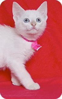 Siamese Kitten for adoption in Gloucester, Virginia - KAREN