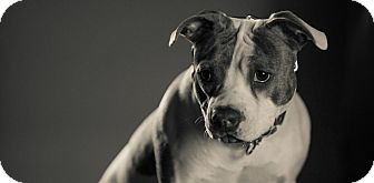 Pit Bull Terrier/Boxer Mix Dog for adoption in Nashville, Tennessee - Pig