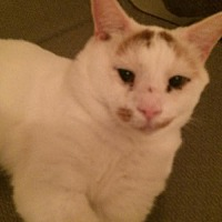Domestic Shorthair Cat for adoption in Montreal, Quebec - Mr Spock