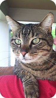 Domestic Shorthair Cat for adoption in Chattanooga, Tennessee - TC