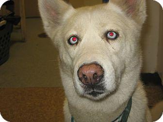 Siberian Husky Dog for adoption in Kankakee, Illinois - Athena