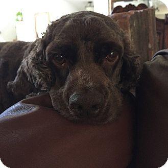 Cocker Spaniel Dog for adoption in Santa Barbara, California - TRIPPER & Sassy