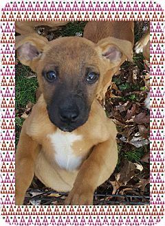 Shepherd (Unknown Type) Mix Puppy for adoption in Lima, Pennsylvania - M-litter